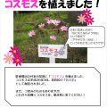 佐伯区の花「コスモス」